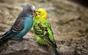 Periquitos azul y verde