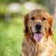 Foto de perro raza labrador