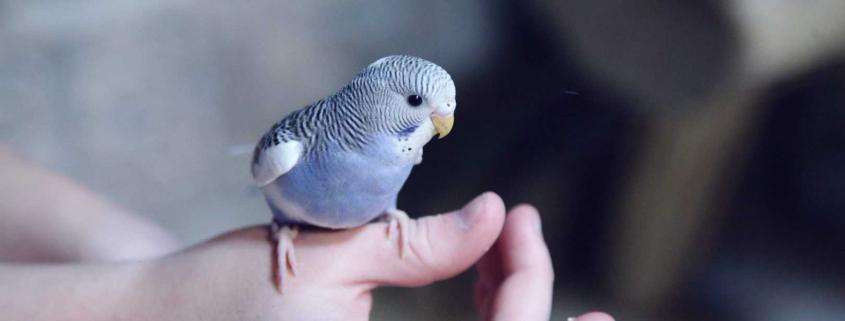 Periquito azul anatomía de las aves