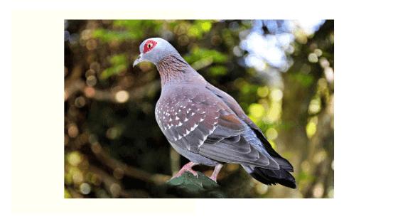 cría de palomas