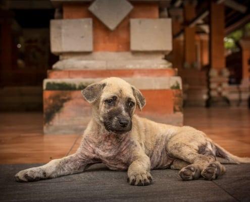 sarna en perro con heridas en la piel