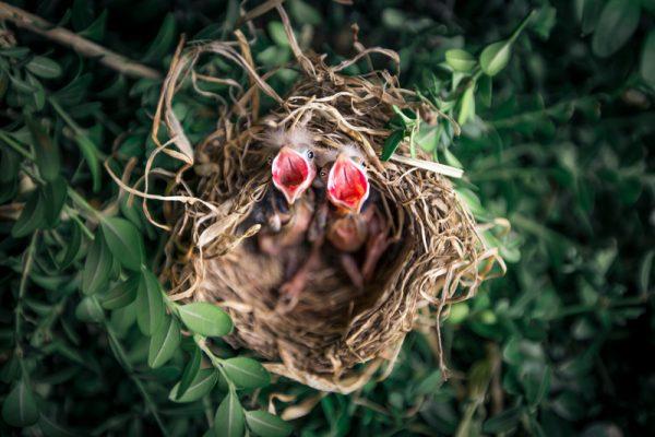 12 aspectos a tener en cuenta en la cría de aves en casa 1